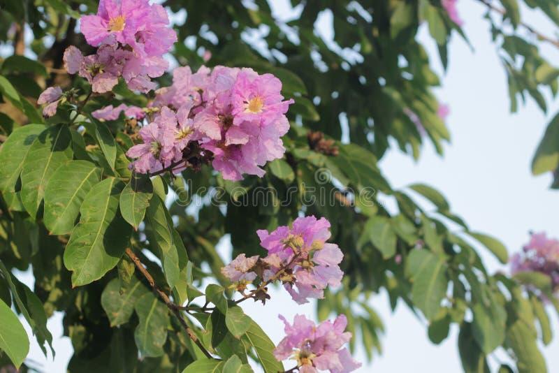 Όμορφο γιγαντιαίο λουλούδι ύφασμα κρεπ-myrtle στοκ φωτογραφία