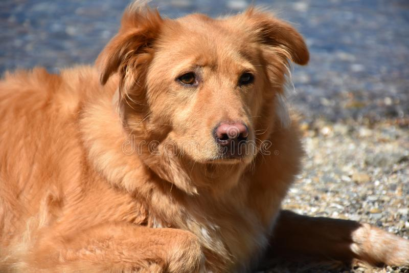 Όμορφο γλυκό αντιμέτωπο Retriever διοδίων παπιών σκυλί στοκ φωτογραφία