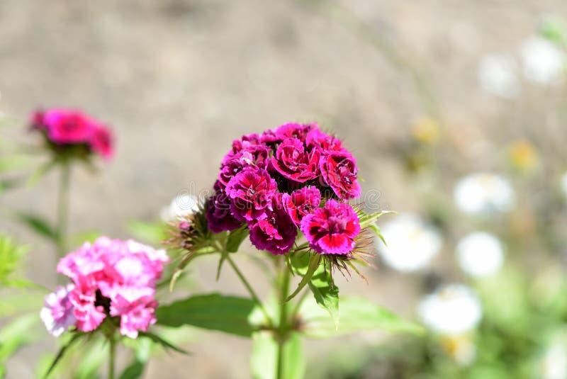 Όμορφο γλυκό barbatus Dianthus λουλουδιών William στον κήπο στοκ εικόνες με δικαίωμα ελεύθερης χρήσης