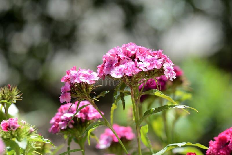 Όμορφο γλυκό barbatus Dianthus λουλουδιών William στον κήπο στοκ εικόνα