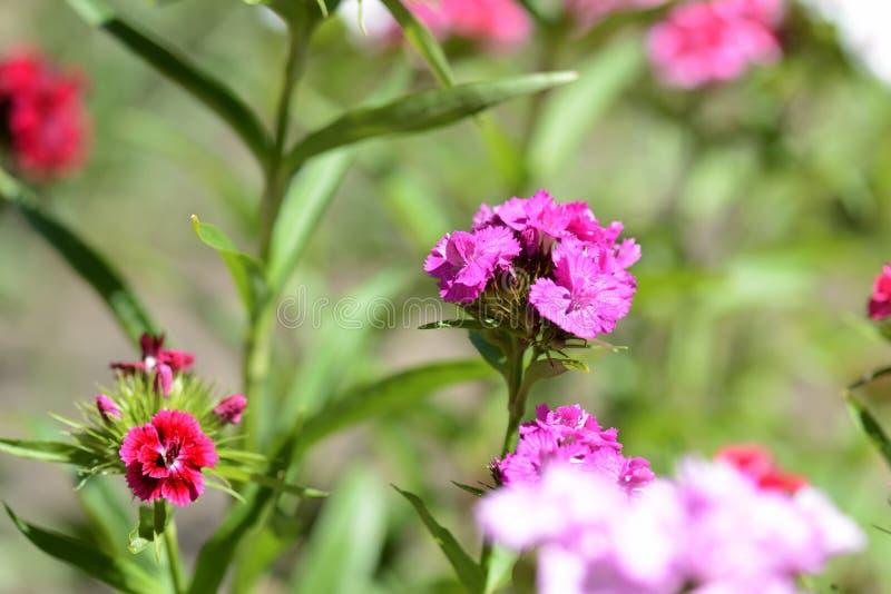 Όμορφο γλυκό barbatus Dianthus λουλουδιών William στον κήπο στοκ φωτογραφίες