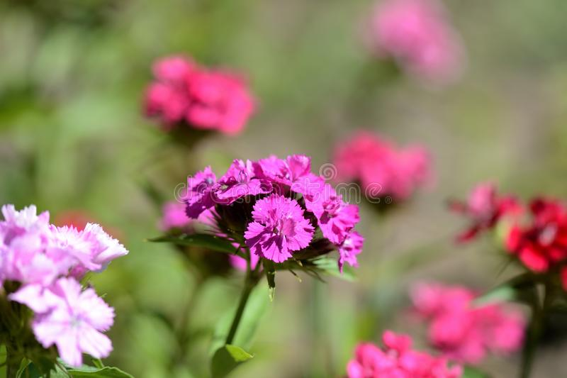Όμορφο γλυκό barbatus Dianthus λουλουδιών William στον κήπο στοκ φωτογραφίες με δικαίωμα ελεύθερης χρήσης