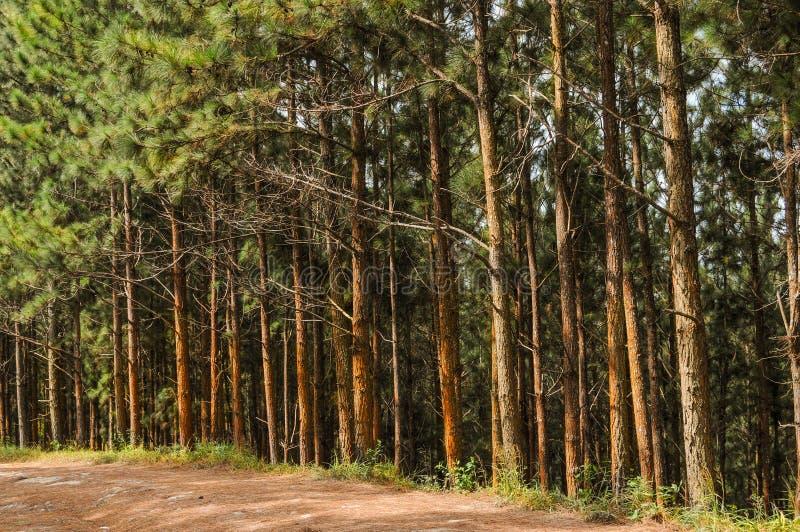 Όμορφο δάσος πεύκων από μια εθνική οδό στον Παναμά στοκ φωτογραφία