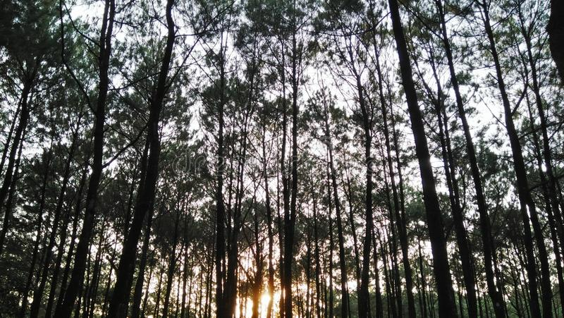 Όμορφο δάσος πεύκων στην ανατολή στοκ φωτογραφία με δικαίωμα ελεύθερης χρήσης