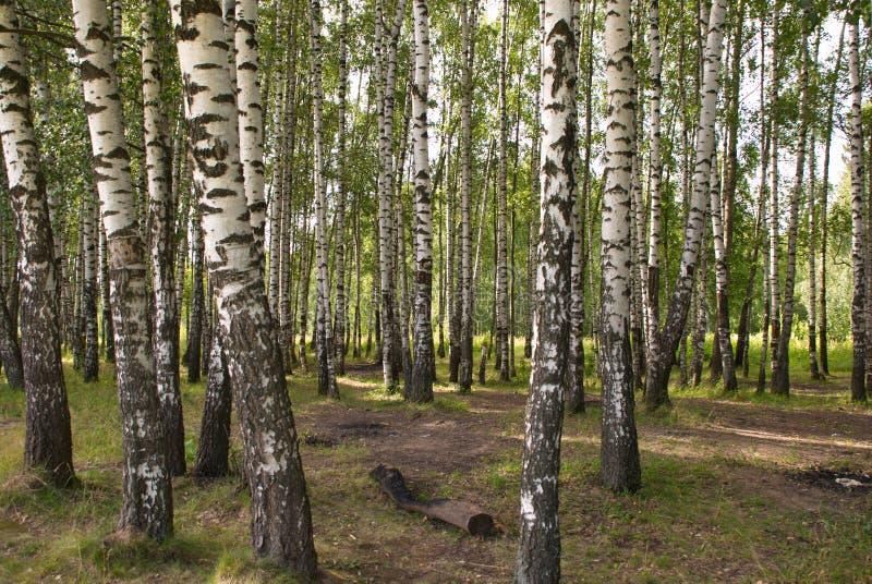Όμορφο δάσος σημύδων μια θερμή θερινή ημέρα στοκ φωτογραφία με δικαίωμα ελεύθερης χρήσης