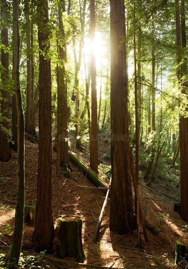 όμορφο δάσος redwood στοκ εικόνες