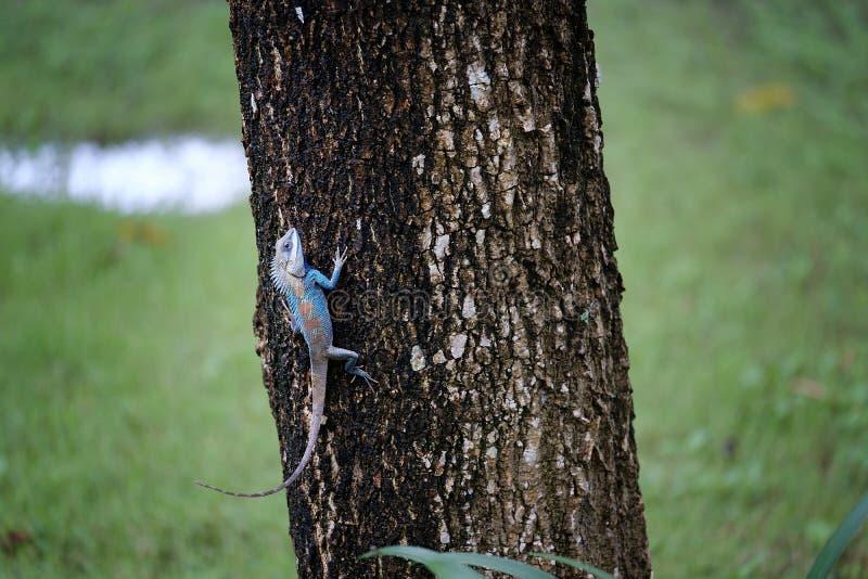 Όμορφο δέντρο συμπλεκτών χαμαιλεόντων Ζωική άγρια φύση Agamidae chamel στοκ φωτογραφία με δικαίωμα ελεύθερης χρήσης