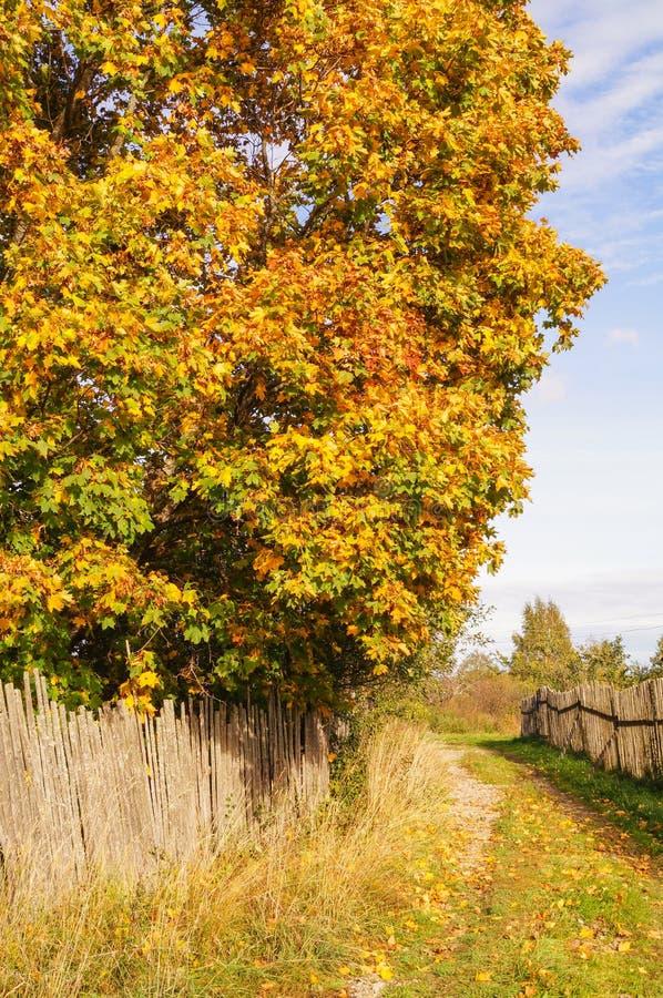 Όμορφο δέντρο σφενδάμνου με τα κίτρινα φύλλα κοντά στο φράκτη στο χωριό στοκ φωτογραφίες με δικαίωμα ελεύθερης χρήσης