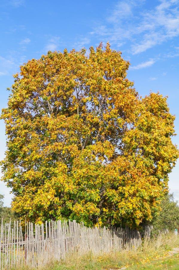 Όμορφο δέντρο σφενδάμνου με τα κίτρινα φύλλα κοντά στο φράκτη στο χωριό στοκ φωτογραφία με δικαίωμα ελεύθερης χρήσης