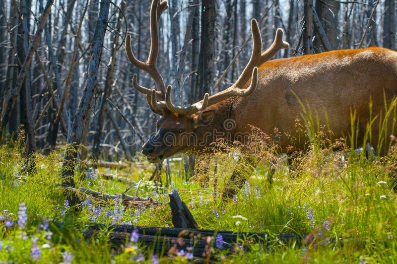 Όμορφο εθνικό πάρκο Yellowstone αλκών στοκ φωτογραφίες