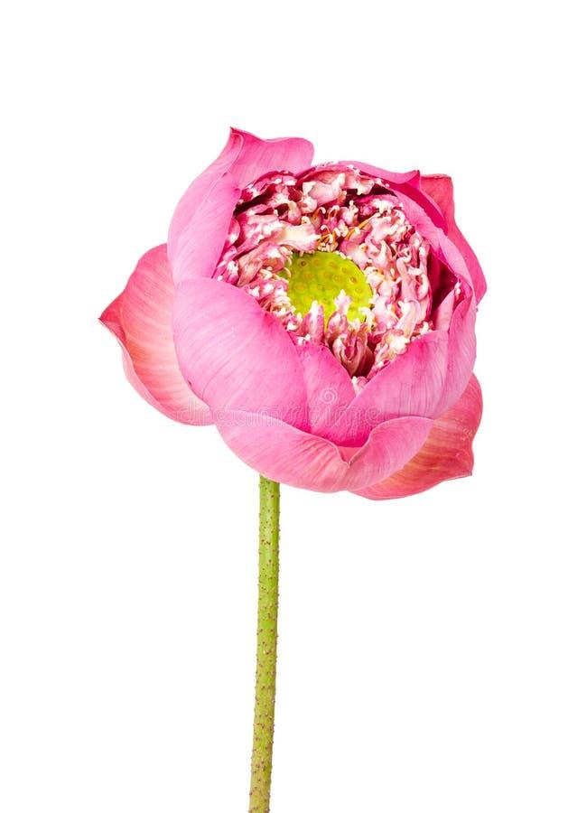 Όμορφο ενιαίο λουλούδι λωτού που απομονώνεται στο λευκό στοκ φωτογραφία