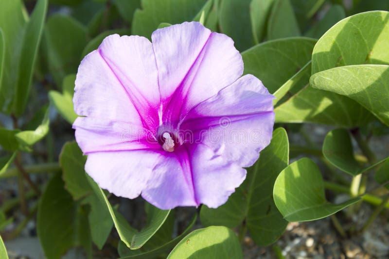 Όμορφο ενιαίο ρόδινο λουλούδι της δόξας πρωινού αναρριχητικών φυτών ή παραλιών ποδιών της αίγας στοκ φωτογραφία με δικαίωμα ελεύθερης χρήσης