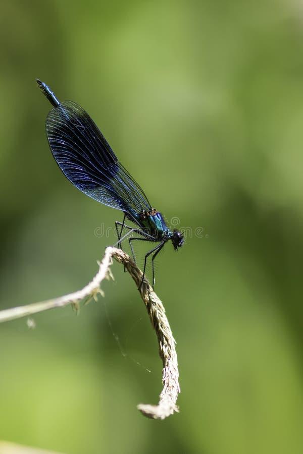 Όμορφο ενωμένο αρσενικό Demoiselle& x28  Calopteryx splendens& x29  στοκ εικόνα