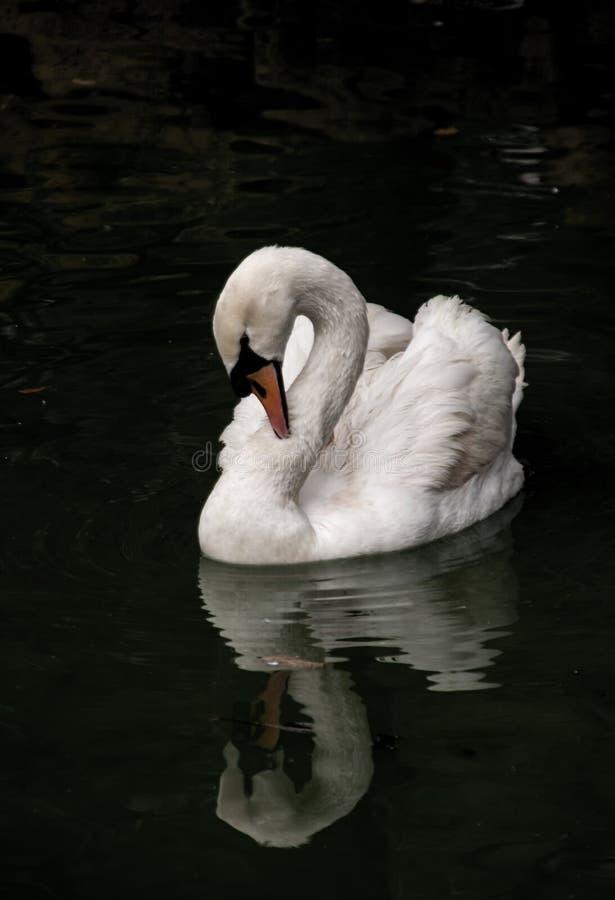 όμορφο λευκό κύκνων στοκ εικόνες