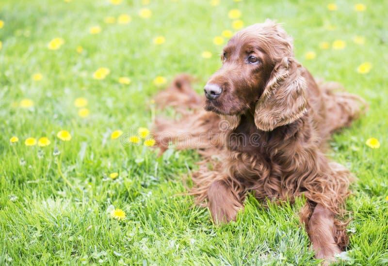 Όμορφο ευτυχές ιρλανδικό σκυλί ρυθμιστών που βρίσκεται στη χλόη στοκ φωτογραφία