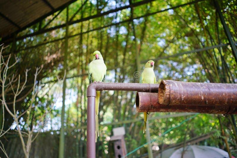 Όμορφο ζεύγος των πράσινων παπαγάλων eclectus στοκ φωτογραφίες