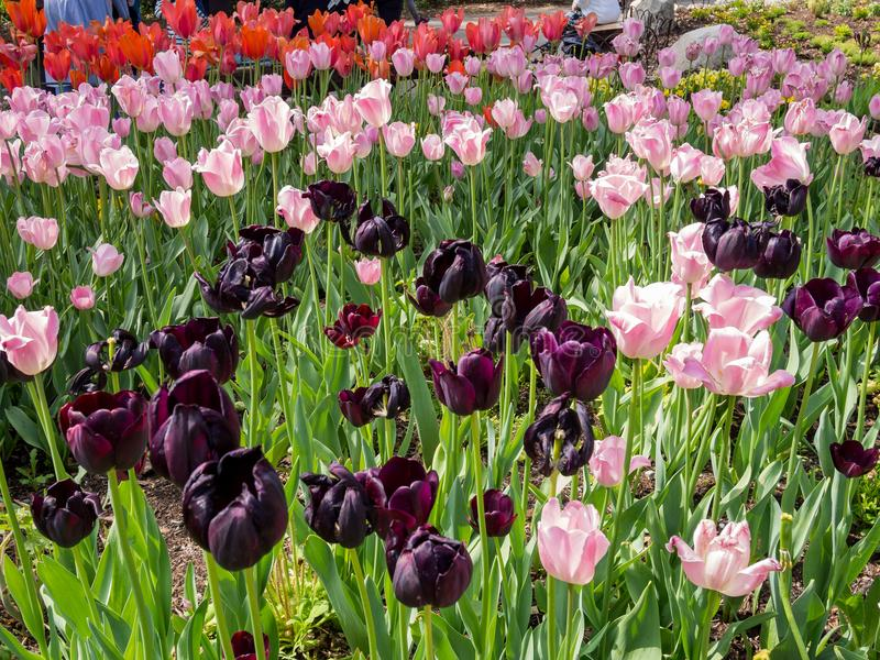 Όμορφο ζωηρόχρωμο άνθος τουλιπών παντού στοκ φωτογραφία με δικαίωμα ελεύθερης χρήσης