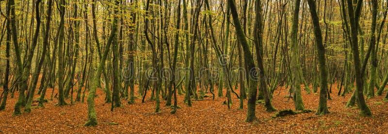 Όμορφο ζωηρό χρυσό φθινοπώρου τοπίο πανοράματος πτώσης δασικό στοκ φωτογραφία