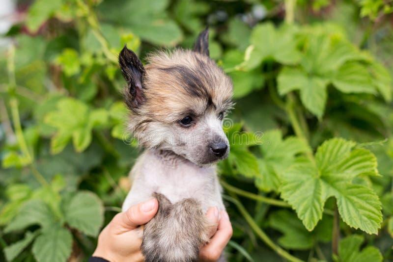 Όμορφο ηλέκτρινο άτριχο κινεζικό λοφιοφόρο σκυλί φυλής κουταβιών στα χέρια του ιδιοκτήτη του στο πράσινο φυσικό υπόβαθρο στοκ εικόνες