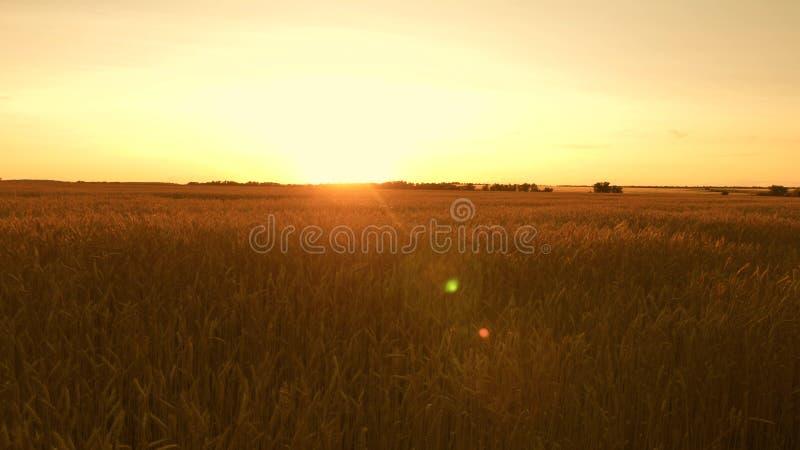 Όμορφο ηλιοβασίλεμα με την επαρχία πέρα από έναν τομέα του σίτου ώριμα αυτιά σίτου στον τομέα ο ήλιος φωτίζει τις συγκομιδές σίτο στοκ φωτογραφία