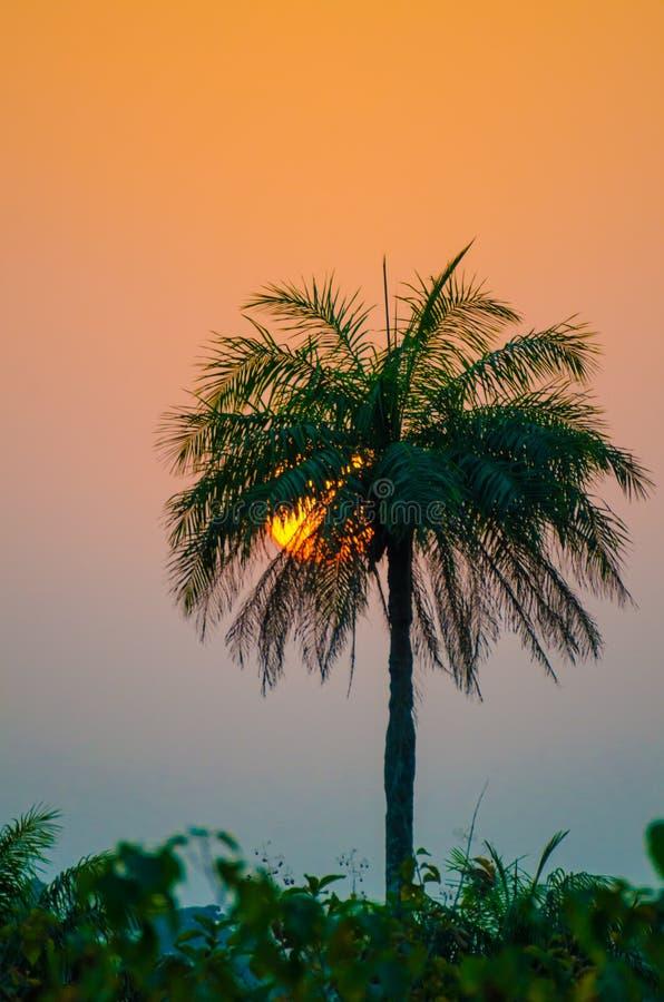 Όμορφο ηλιοβασίλεμα με τον ήλιο που πηγαίνει κάτω ψηλό να κολλήσει φοινίκων από το δάσος, Γουινέα, Δυτική Αφρική στοκ εικόνες