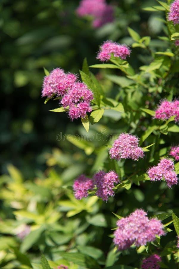 Όμορφο ηλιόλουστο καλοκαίρι Κίνα λουλουδιών στοκ εικόνες με δικαίωμα ελεύθερης χρήσης