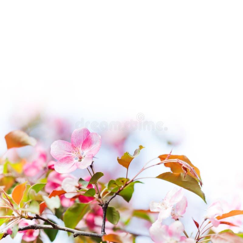 Όμορφο ηλιόλουστο floral πρότυπο ημέρας με τον ανθίζοντας ρόδινο κλάδο λουλουδιών Μαλακή ελαφριά φυσική φύση άνοιξης φρεσκάδας στοκ φωτογραφία με δικαίωμα ελεύθερης χρήσης