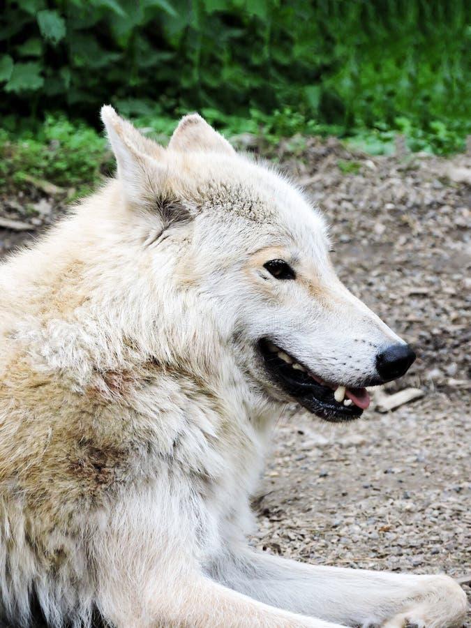 Πορτρέτο του γκρίζου λύκου Αιχμάλωτο ζώο Όμορφος λύκος Όμορφο θερινό τοπίο, λύκος στο δάσος, χειμερινό τοπίο με το μεγάλο preda στοκ εικόνες