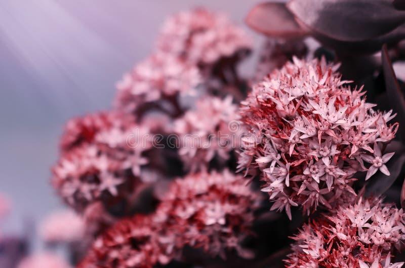 Όμορφο θερινό υπόβαθρο με την άγρια χλόη λιβαδιών και ρόδινα λουλούδια στις ακτίνες του ηλιοβασιλέματος Μακροεντολή κινηματογραφή στοκ φωτογραφία