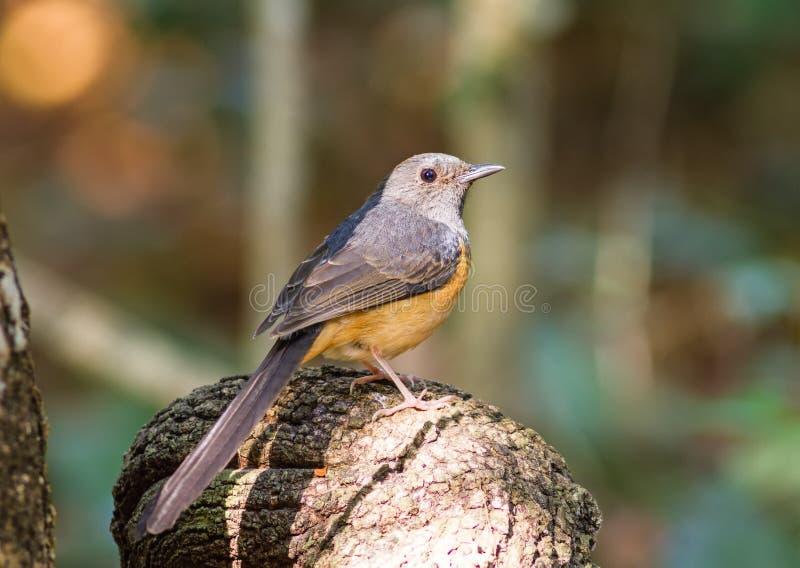 Όμορφο θηλυκό πουλί άσπρο Rumped Shama ή Copsychus Malabariccus στοκ εικόνες
