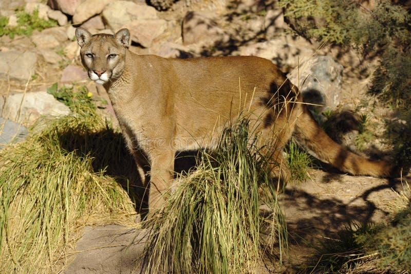 Όμορφο λιοντάρι Cougar/βουνών στην έρημο στοκ εικόνες