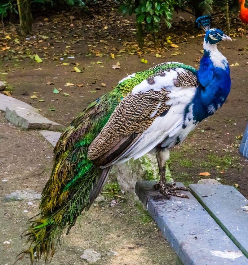 Όμορφο ιριδίζον peacock που στέκεται σε έναν πάγκο, peafowl στα χρώματα άσπρα, τις μπλε, καφετιές και πράσινες, μεταλλαγές χρώματ στοκ φωτογραφία