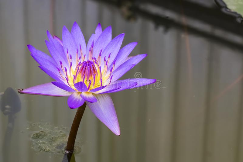 Όμορφο ιώδες Lotus, εργοστάσιο νερού με την αντανάκλαση σε μια λίμνη στοκ εικόνα