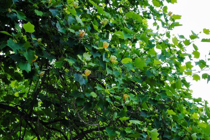 Όμορφο κίτρινο δέντρο τουλιπών στο πάρκο Sofiyivka στοκ φωτογραφία με δικαίωμα ελεύθερης χρήσης