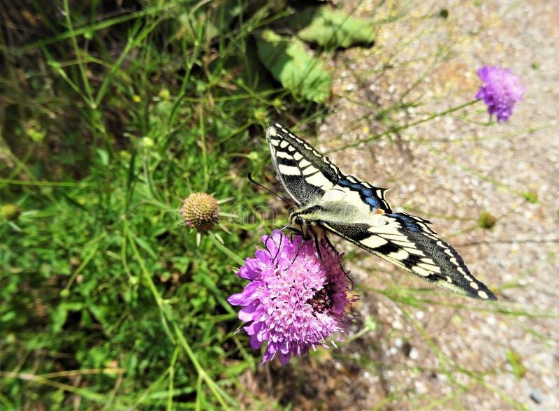 Όμορφο κίτρινο και μαύρο fritillary να ταΐσει πεταλούδων με το πορφυρό ρόδινο λουλούδι στοκ φωτογραφία με δικαίωμα ελεύθερης χρήσης