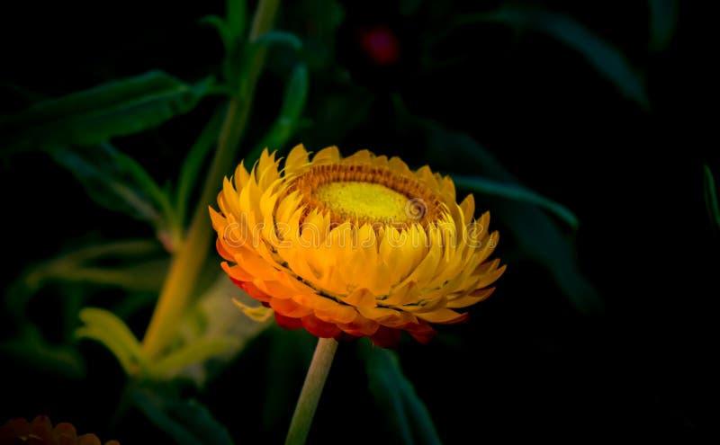 Όμορφο κίτρινο λουλούδι αχύρου στοκ φωτογραφία με δικαίωμα ελεύθερης χρήσης