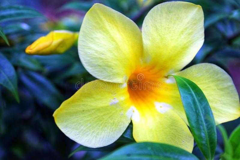 Όμορφο κίτρινο λουλούδι με το γαλαζωπό υπόβαθρο στοκ εικόνες