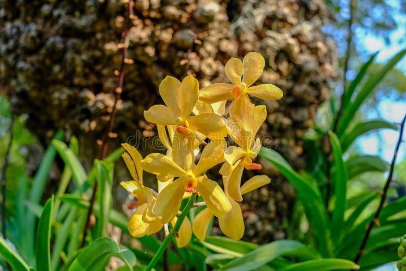 Όμορφο κίτρινο λουλούδι ορχιδεών στο δέντρο στοκ εικόνες