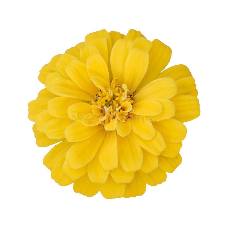 Όμορφο κίτρινο λουλούδι της Zinnia που απομονώνεται στο άσπρο υπόβαθρο στοκ εικόνα με δικαίωμα ελεύθερης χρήσης