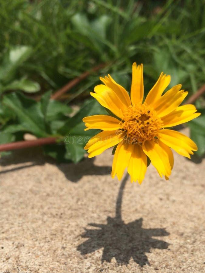 Όμορφο κίτρινο λουλούδι στο σκυρόδεμα στοκ φωτογραφία