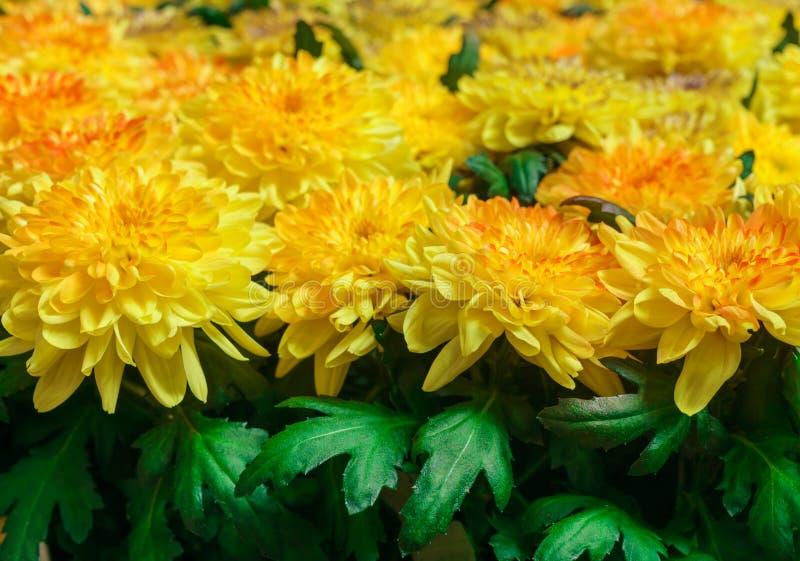 Όμορφο κίτρινο χρυσάνθεμα στον κήπο στοκ εικόνες με δικαίωμα ελεύθερης χρήσης