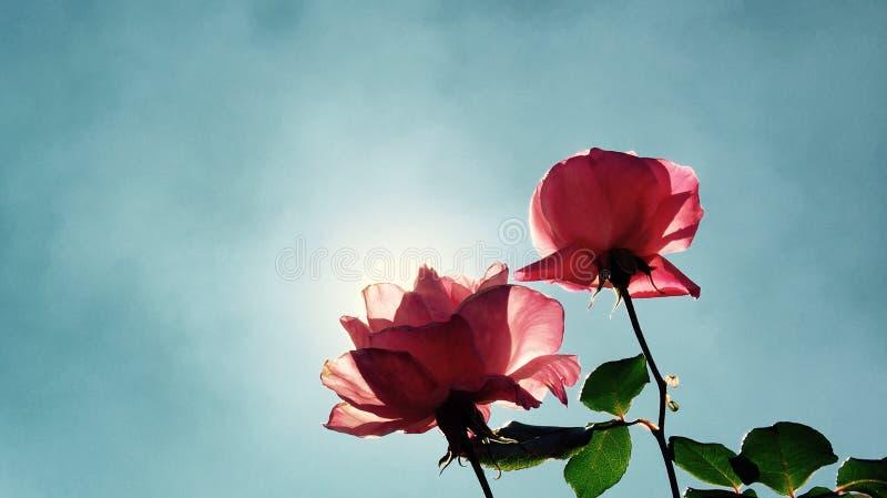 Όμορφο καθαρό ροζ ήλιων ημέρας τριαντάφυλλων στοκ φωτογραφία