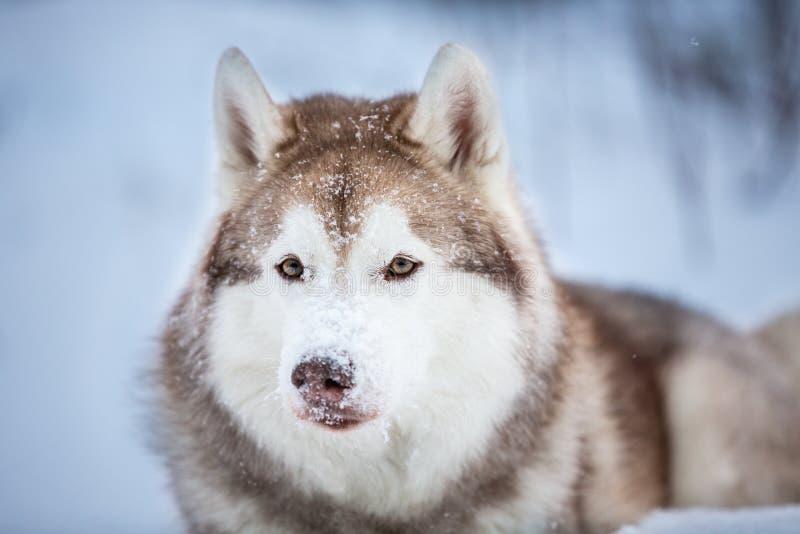 Όμορφο και ευτυχές σιβηρικό γεροδεμένο σκυλί που βρίσκεται στο χιόνι στο σκοτεινό δάσος το χειμώνα στοκ εικόνες