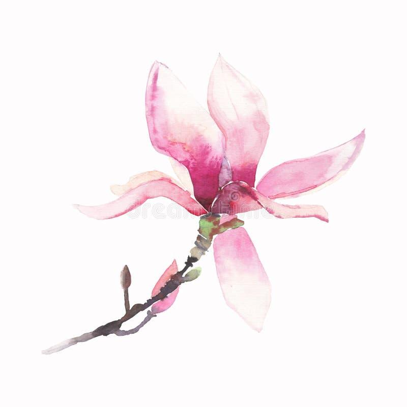 Όμορφο καλό τρυφερό βοτανικό θαυμάσιο floral watercolor λουλουδιών θερινού ρόδινο ιαπωνικό magnolia ελεύθερη απεικόνιση δικαιώματος