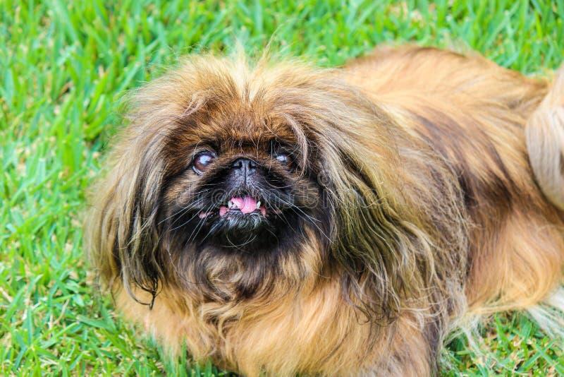 Όμορφο καστανό μακρόμαλλο σκυλί Πεκινγκέσε, ενήλικο θηλυκό Γνωστός και ως Pekinese, Beijing Lion Dog ή Κινεζική Ισπανία Καθαρόαιμ στοκ φωτογραφία