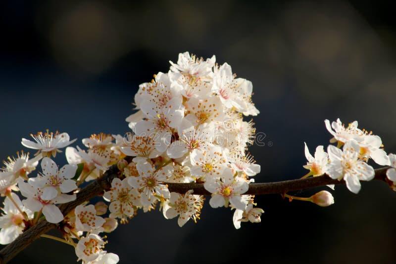 Όμορφο κινηματογραφήσεων σε πρώτο πλάνο δέντρο δαμάσκηνων άνοιξη ανθίζοντας ανθίζοντας την άνοιξη r στοκ εικόνες