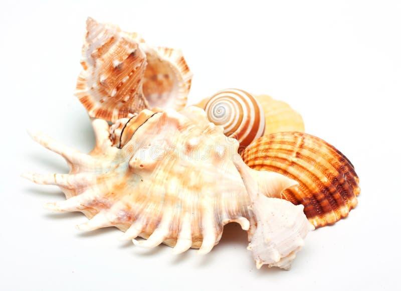 Download όμορφο κοχύλι θάλασσας &omic Στοκ Εικόνα - εικόνα από κλίμα, cowrie: 17057907