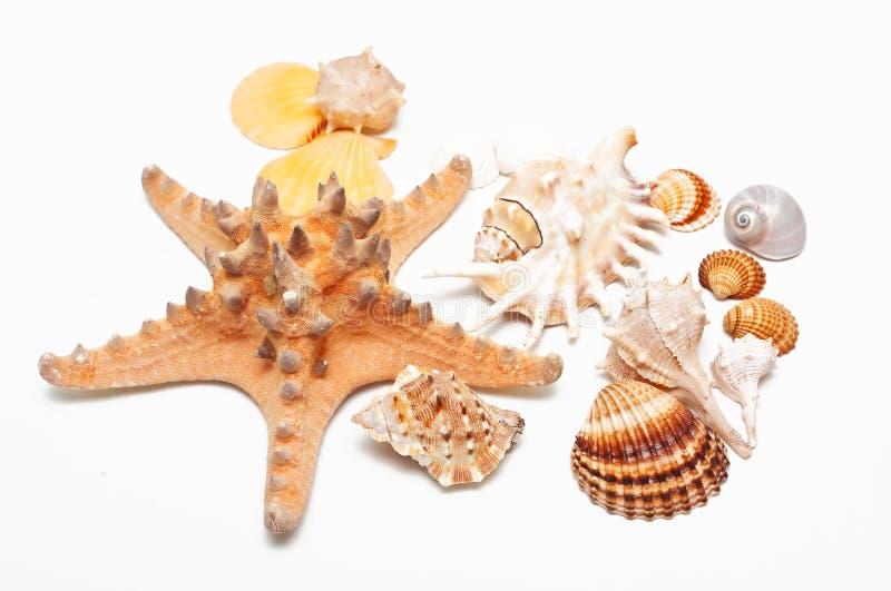 Download όμορφο κοχύλι θάλασσας &omic Στοκ Εικόνα - εικόνα από στρείδι, διακόσμηση: 17058123