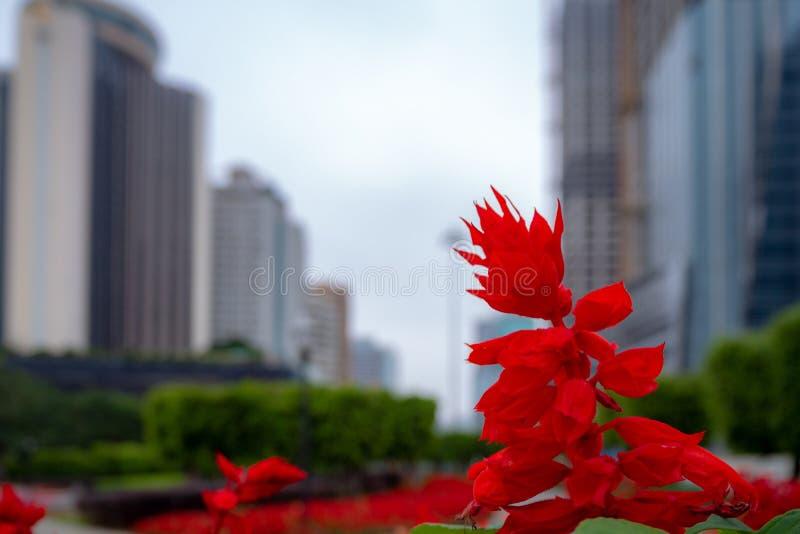 Όμορφο κόκκινο λογικό λουλούδι κινηματογραφήσεων σε πρώτο πλάνο στο θολωμένο εμπορικό κέντρο και το συννεφιάζω υπόβαθρο ουρανού στοκ εικόνα με δικαίωμα ελεύθερης χρήσης