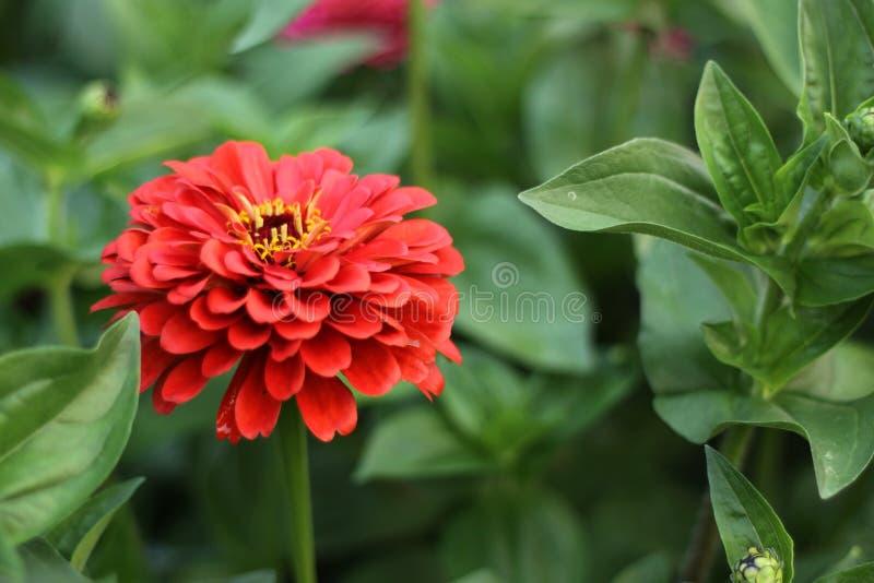 Όμορφο κόκκινο λουλούδι με ένα κίτρινο κέντρο στοκ φωτογραφία
